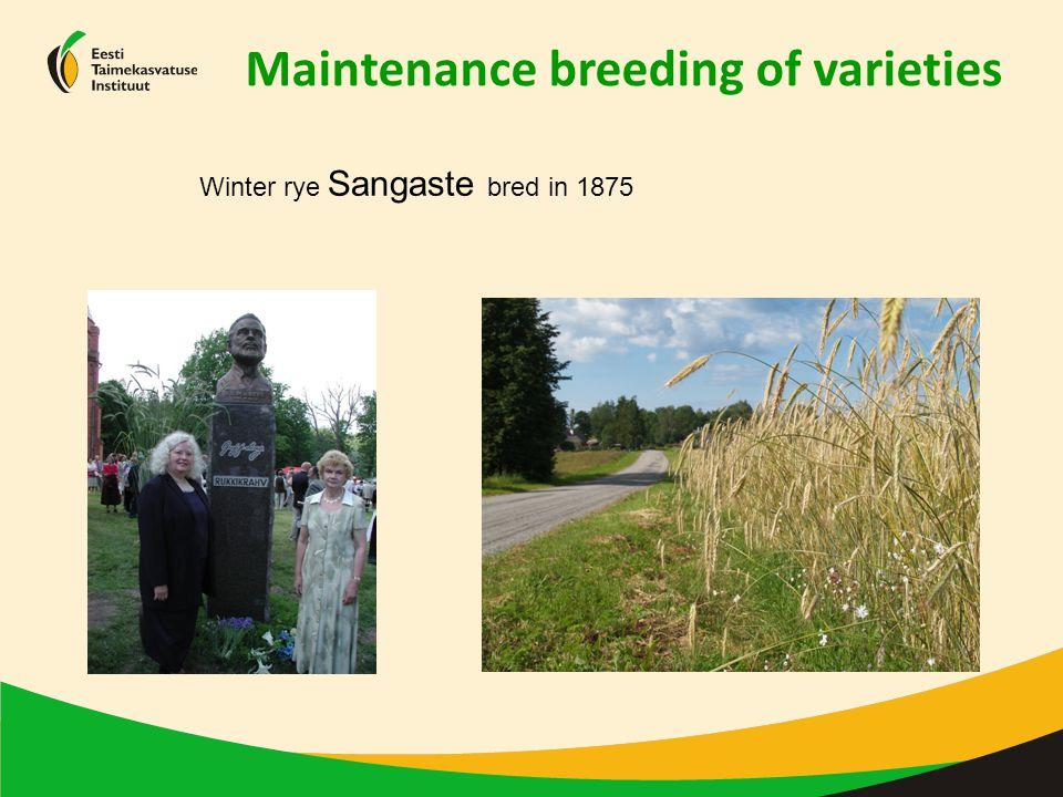 Maintenance breeding of varieties Winter rye Sangaste bred in 1875