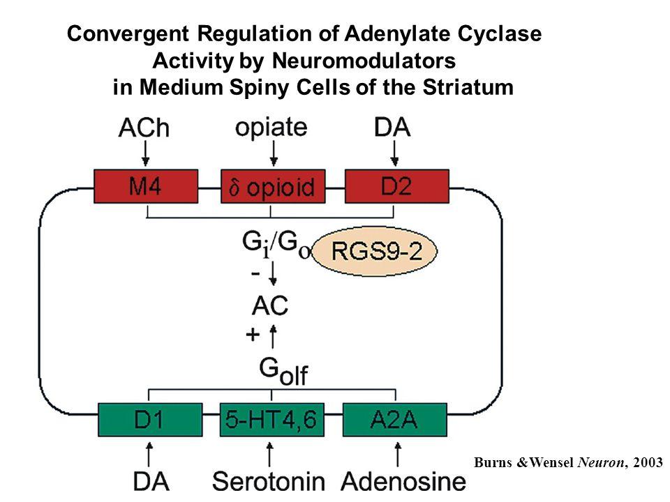 Rahman et al. Neuron, 2003