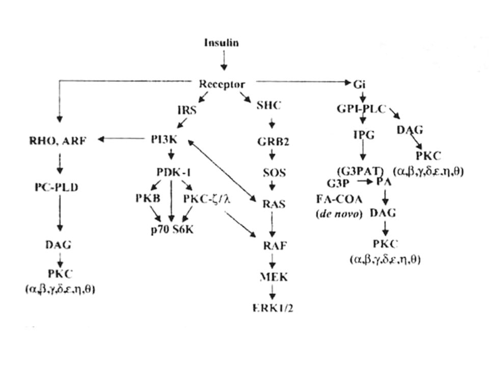 Insulin-sensitive Phospholipid Signaling Pathways Major Phospholipid effect of insulin: GPI and PC hydrolysis in membrane de novo synthesis of PA in ER synthesis of PI in ER activation of PI3K in mambrane and ER Signaling substances: IPG, DAG, PI3,4,5P3 DAG from 3 source can activate conventional and novel PKCs : PC hydrolysis account for most of the initial burst of DAG/PKC signaling in membrane Insulin-sensitive hydrolytic and synthetic phospholipid pathways are interrelated and integrated.