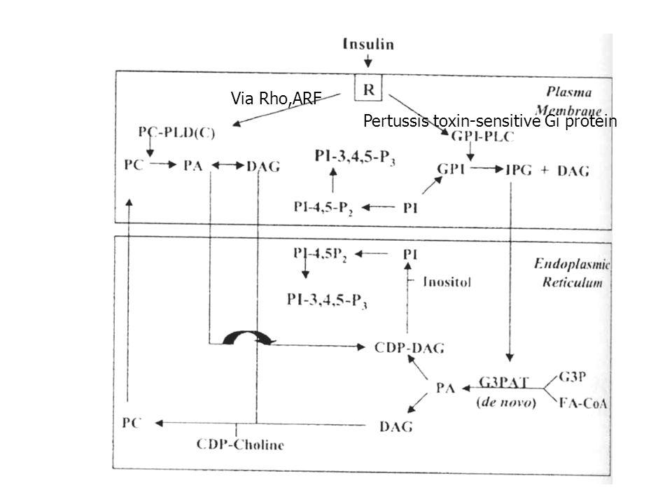 Via Rho,ARF Pertussis toxin-sensitive Gi protein