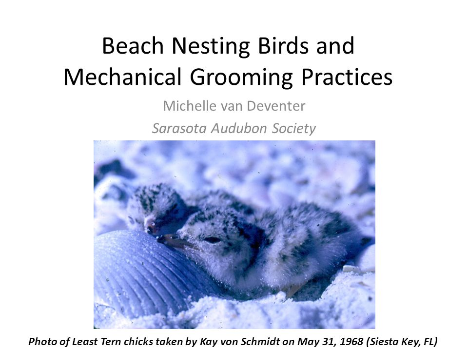 Beach Nesting Birds and Mechanical Grooming Practices Michelle van Deventer Sarasota Audubon Society Photo of Least Tern chicks taken by Kay von Schmi