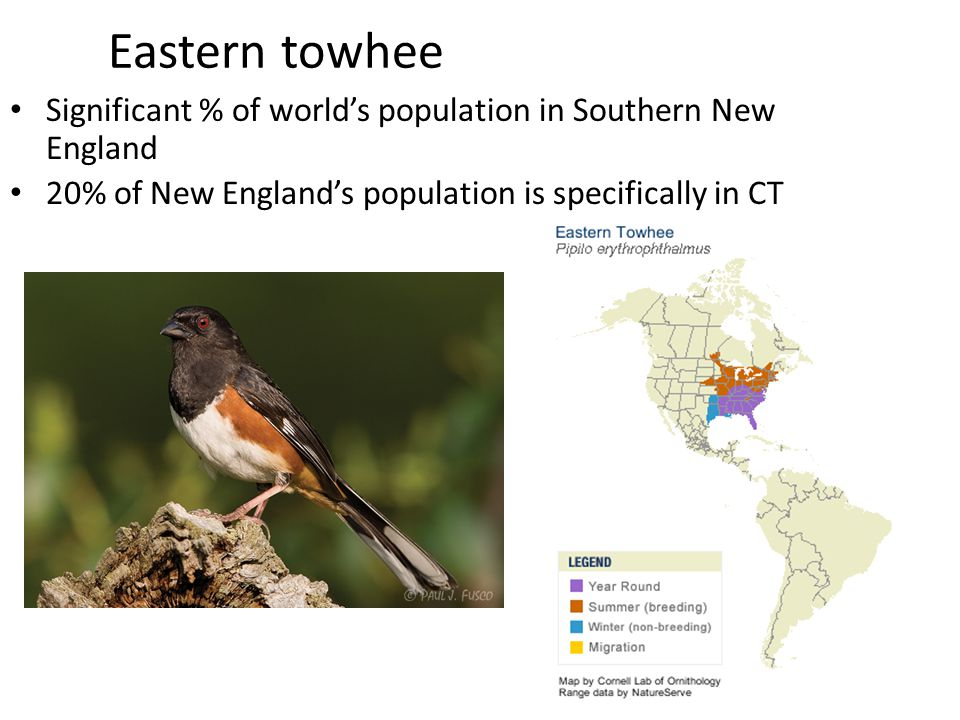 Eastern towhee Significant % of world's population in Southern New England 20% of New England's population is specifically in CT