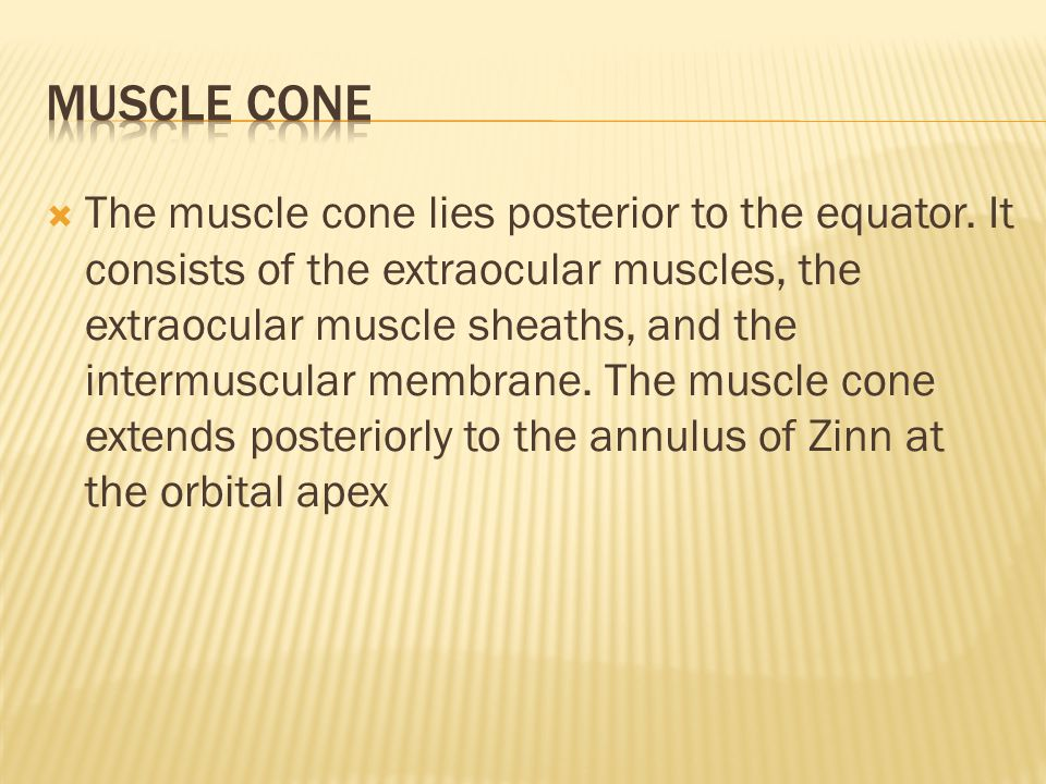  The muscle cone lies posterior to the equator.