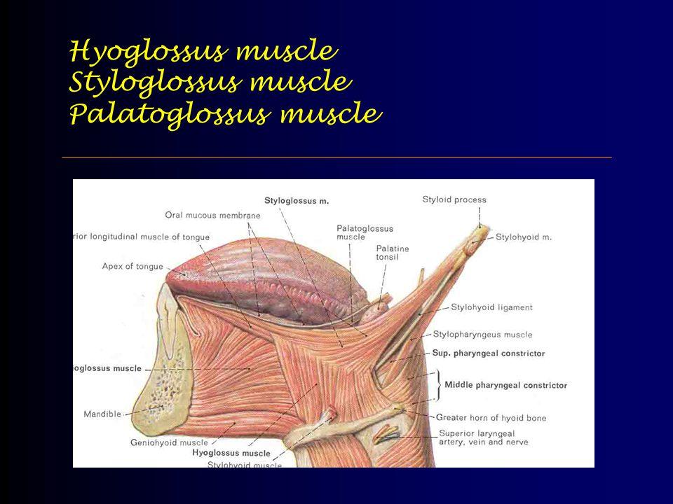 Hyoglossus muscle Styloglossus muscle Palatoglossus muscle