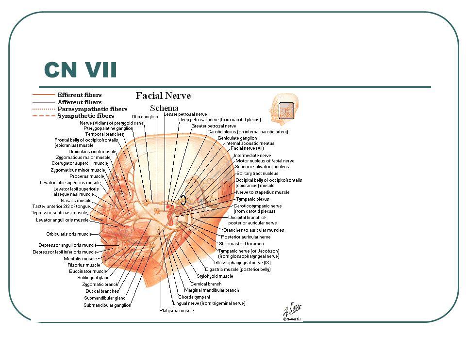 CN VII