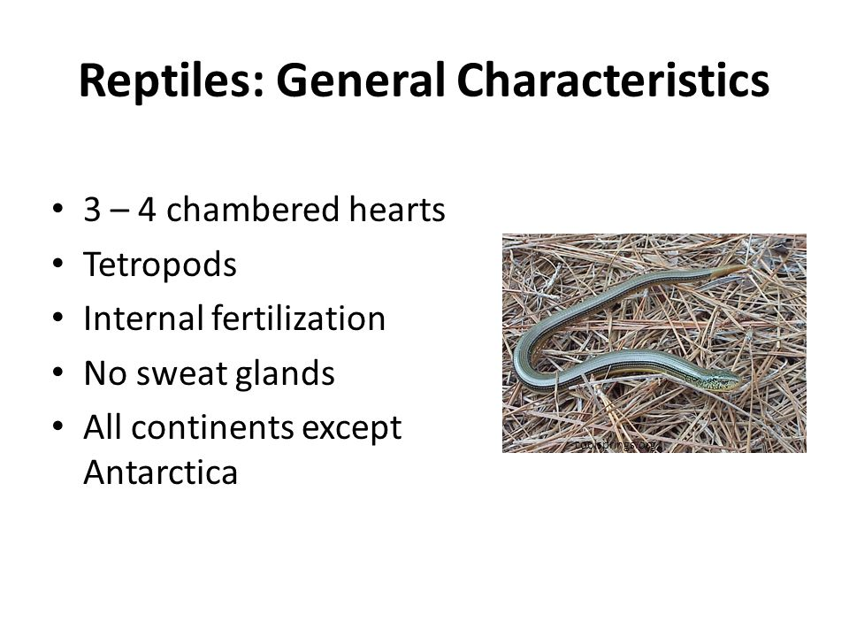 Reptiles: General Characteristics 3 – 4 chambered hearts Tetropods Internal fertilization No sweat glands All continents except Antarctica coolsprings.org