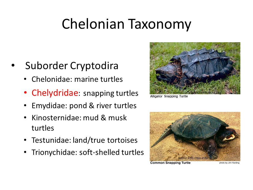 Chelonian Taxonomy Suborder Cryptodira Chelonidae: marine turtles Chelydridae : snapping turtles Emydidae: pond & river turtles Kinosternidae: mud & musk turtles Testunidae: land/true tortoises Trionychidae: soft-shelled turtles www.commons.wikimedia.org www.kbs.msu.edu Alligator Snapping Turtle