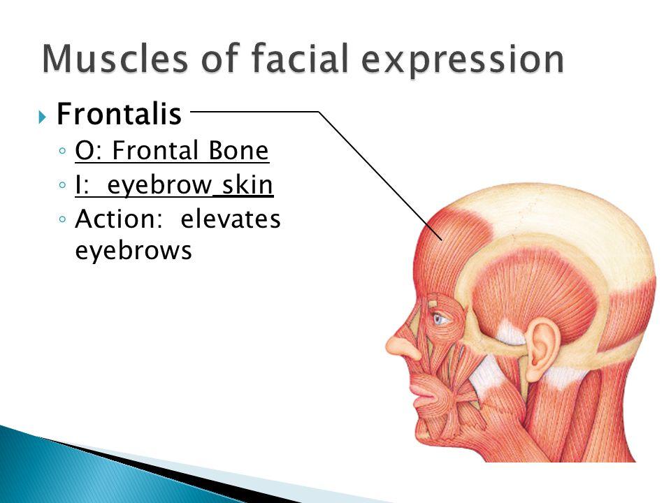  Frontalis ◦ O: Frontal Bone ◦ I: eyebrow skin ◦ Action: elevates eyebrows