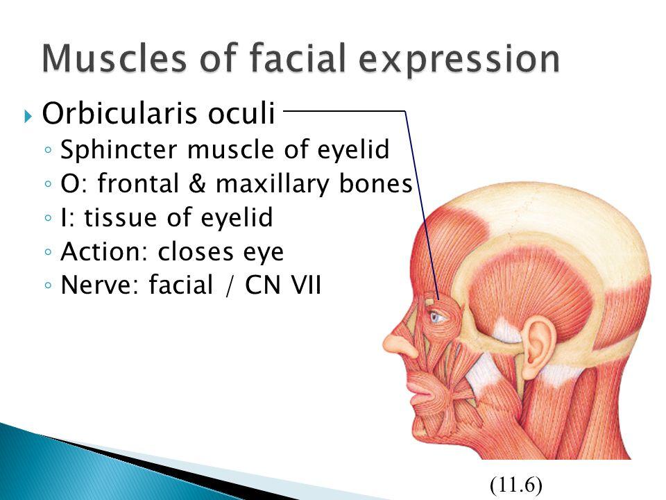  Orbicularis oculi ◦ Sphincter muscle of eyelid ◦ O: frontal & maxillary bones ◦ I: tissue of eyelid ◦ Action: closes eye ◦ Nerve: facial / CN VII (1