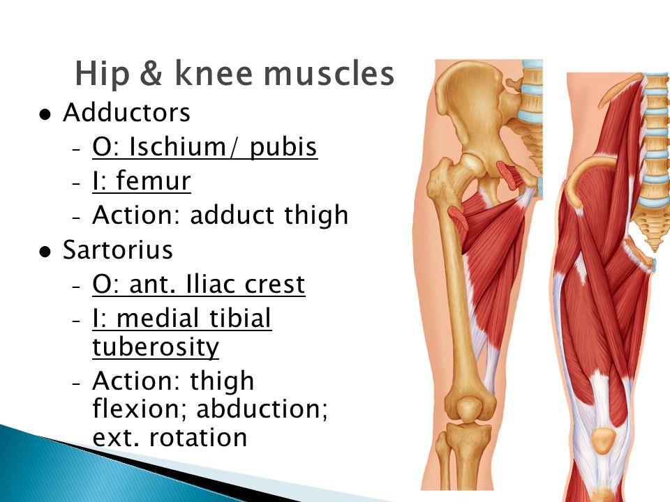 Adductors – O: Ischium/ pubis – I: femur – Action: adduct thigh Sartorius – O: ant. Iliac crest – I: medial tibial tuberosity – Action: thigh flexion;