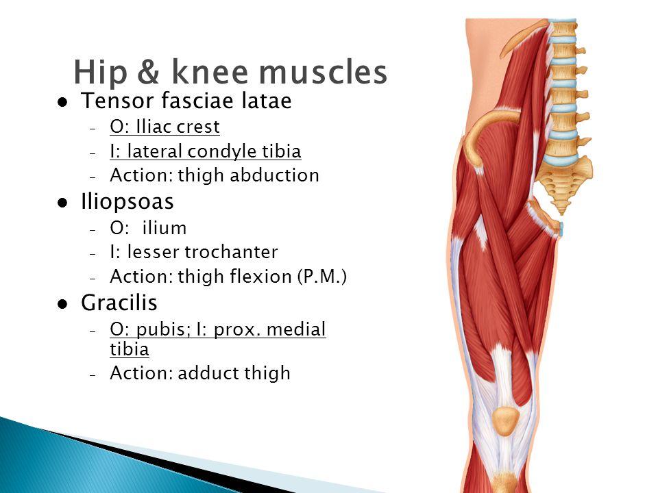 Hip & knee muscles Tensor fasciae latae – O: Iliac crest – I: lateral condyle tibia – Action: thigh abduction Iliopsoas – O: ilium – I: lesser trochan