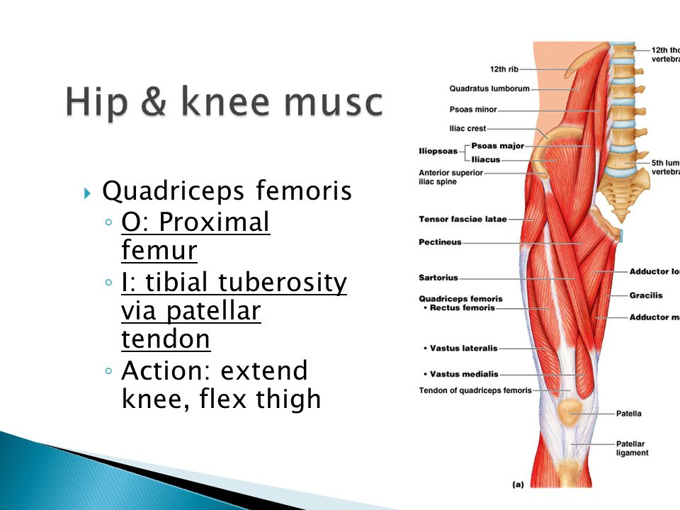  Quadriceps femoris ◦ O: Proximal femur ◦ I: tibial tuberosity via patellar tendon ◦ Action: extend knee, flex thigh