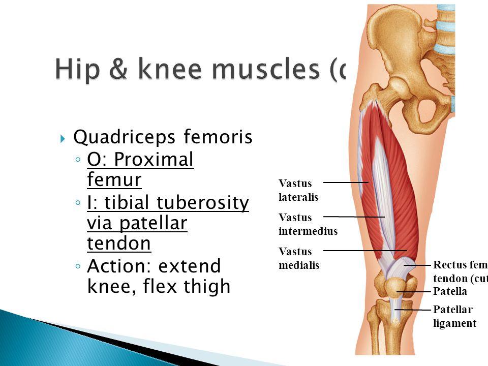  Quadriceps femoris ◦ O: Proximal femur ◦ I: tibial tuberosity via patellar tendon ◦ Action: extend knee, flex thigh Vastus lateralis Vastus intermed