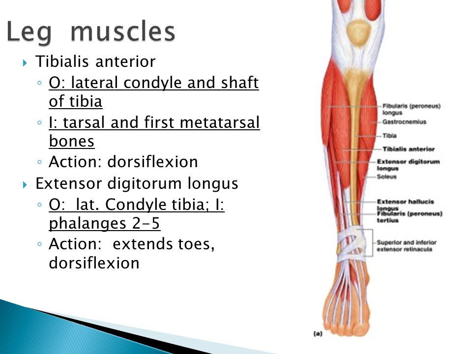  Tibialis anterior ◦ O: lateral condyle and shaft of tibia ◦ I: tarsal and first metatarsal bones ◦ Action: dorsiflexion  Extensor digitorum longus