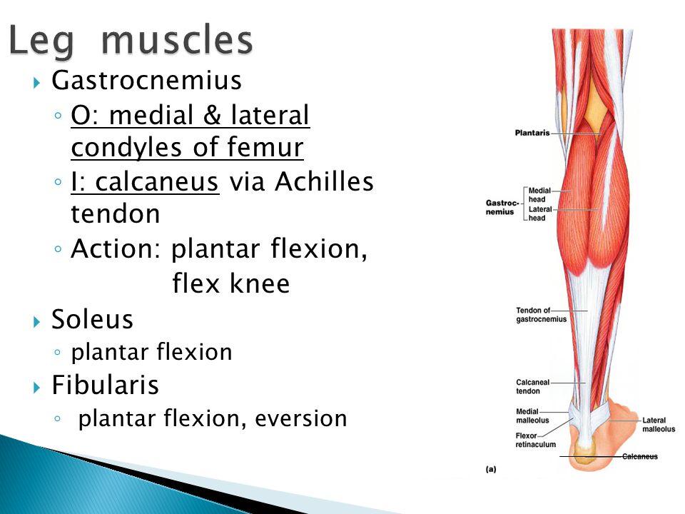  Gastrocnemius ◦ O: medial & lateral condyles of femur ◦ I: calcaneus via Achilles tendon ◦ Action: plantar flexion, flex knee  Soleus ◦ plantar fle