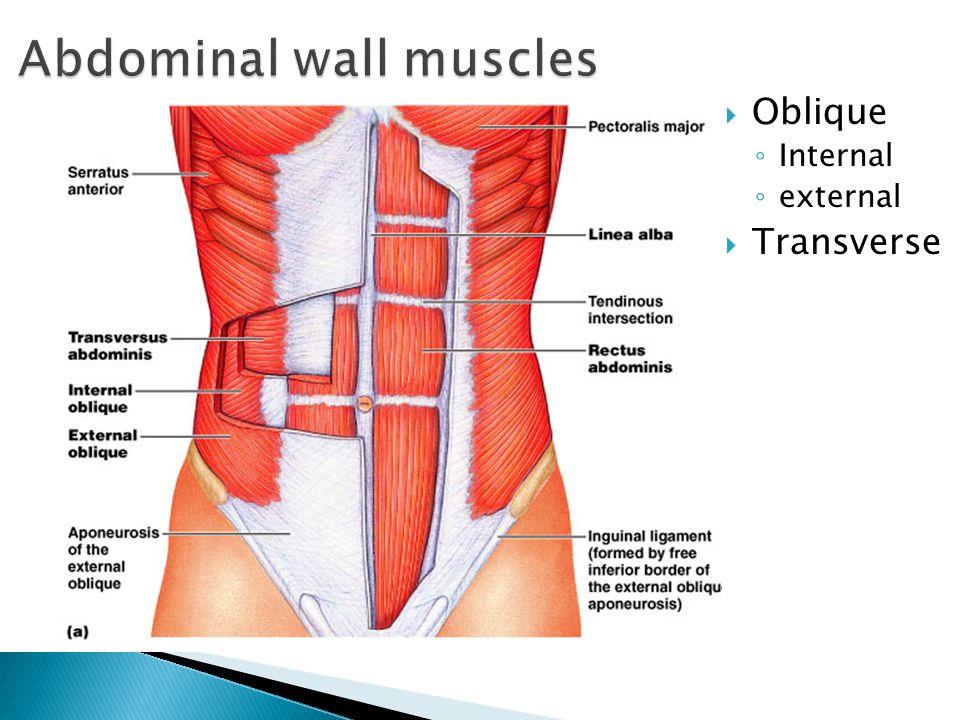  Oblique ◦ Internal ◦ external  Transverse