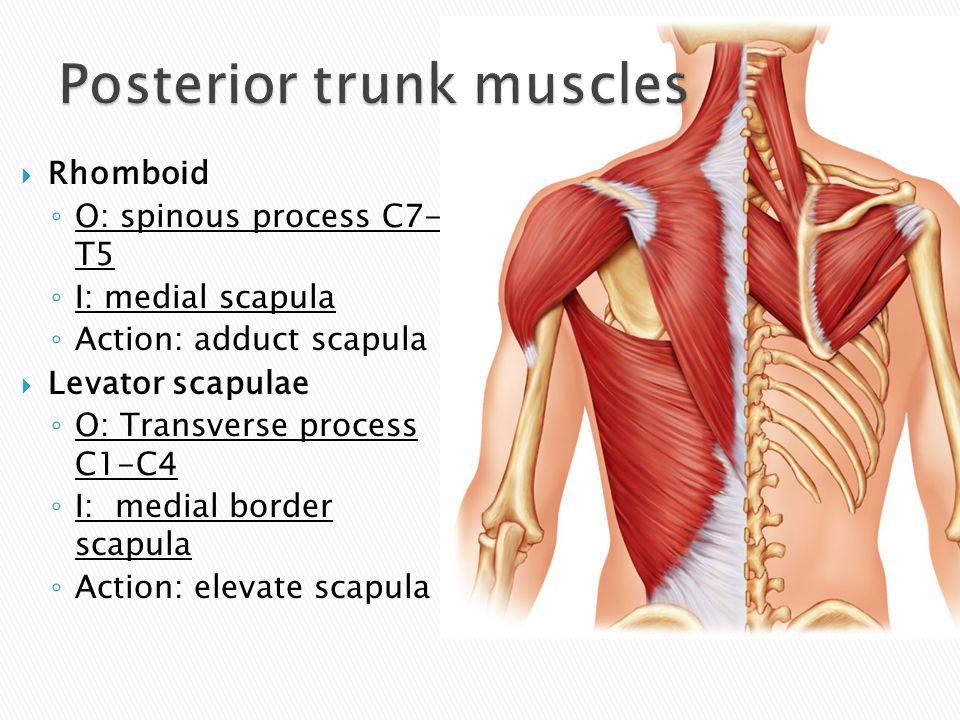  Rhomboid ◦ O: spinous process C7- T5 ◦ I: medial scapula ◦ Action: adduct scapula  Levator scapulae ◦ O: Transverse process C1-C4 ◦ I: medial borde