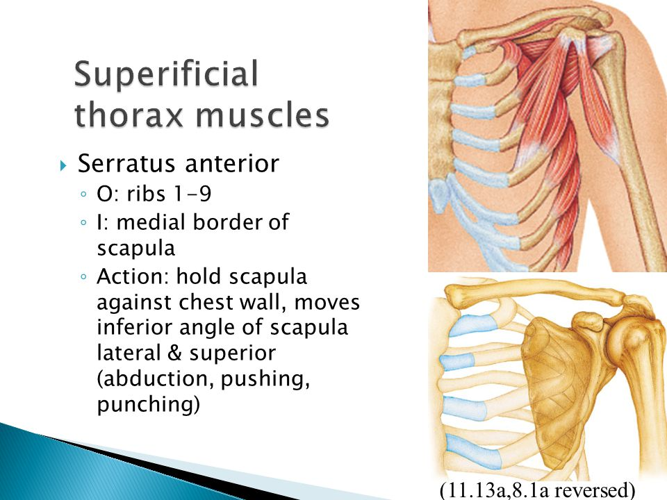  Serratus anterior ◦ O: ribs 1-9 ◦ I: medial border of scapula ◦ Action: hold scapula against chest wall, moves inferior angle of scapula lateral & s