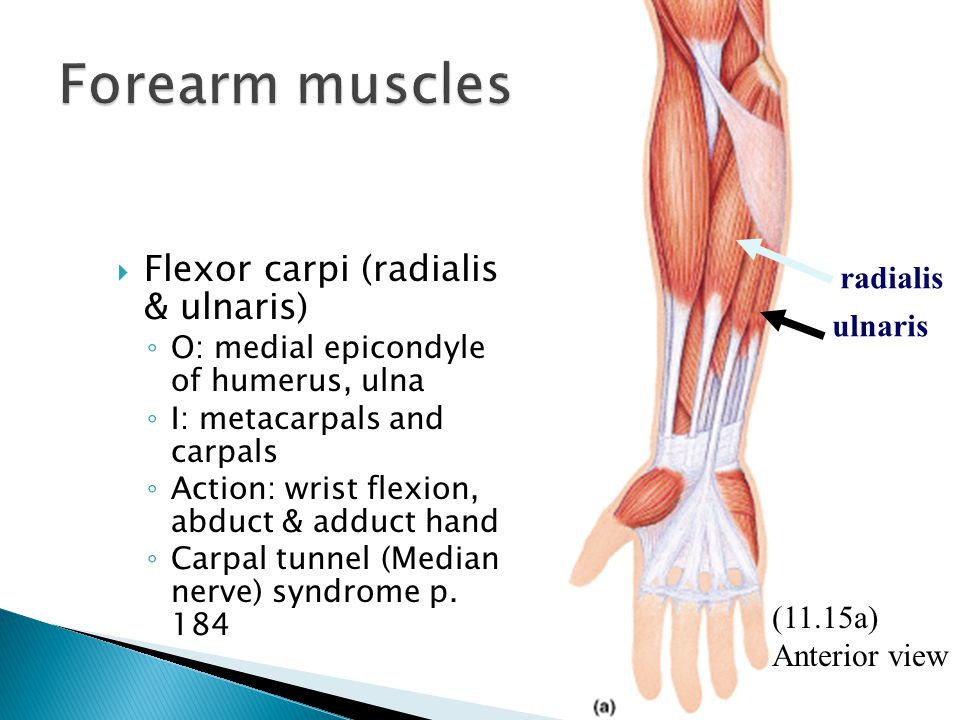  Flexor carpi (radialis & ulnaris) ◦ O: medial epicondyle of humerus, ulna ◦ I: metacarpals and carpals ◦ Action: wrist flexion, abduct & adduct hand