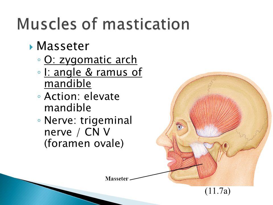  Masseter ◦ O: zygomatic arch ◦ I: angle & ramus of mandible ◦ Action: elevate mandible ◦ Nerve: trigeminal nerve / CN V (foramen ovale) (11.7a) Mass