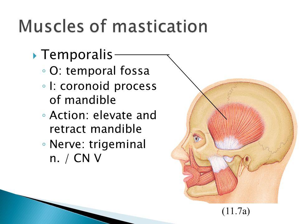  Temporalis ◦ O: temporal fossa ◦ I: coronoid process of mandible ◦ Action: elevate and retract mandible ◦ Nerve: trigeminal n. / CN V (11.7a)