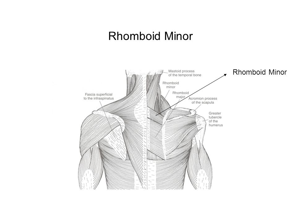 Rhomboid Major Origin : 1.spinous processes of T2-T5 2.supraspinous ligament Insertion : medial scapula from the scapular spine to the inferior angle Action : retract scapula Blood: 1.deep branch of transverse cervical artery, OR 2.dorsal scapular artery Nerve : dorsal scapular nerve, C5