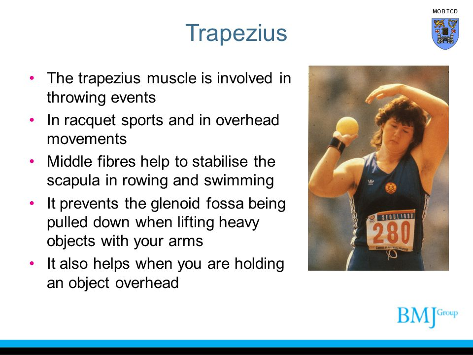The trapezius muscle is involved in throwing events In racquet sports and in overhead movements Middle fibres help to stabilise the scapula in rowing