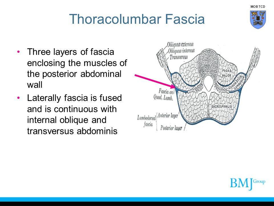 Covers the erector spinae is very strong three layers It is reinforced by the aponeurosis of latissimus dorsi Medially it is attached to lumbar and sacral spinous processes Superiorly it extends over the back muscles to be continuous with the deep fascia of the neck Thoracolumbar Fascia Posterior layer MOB TCD