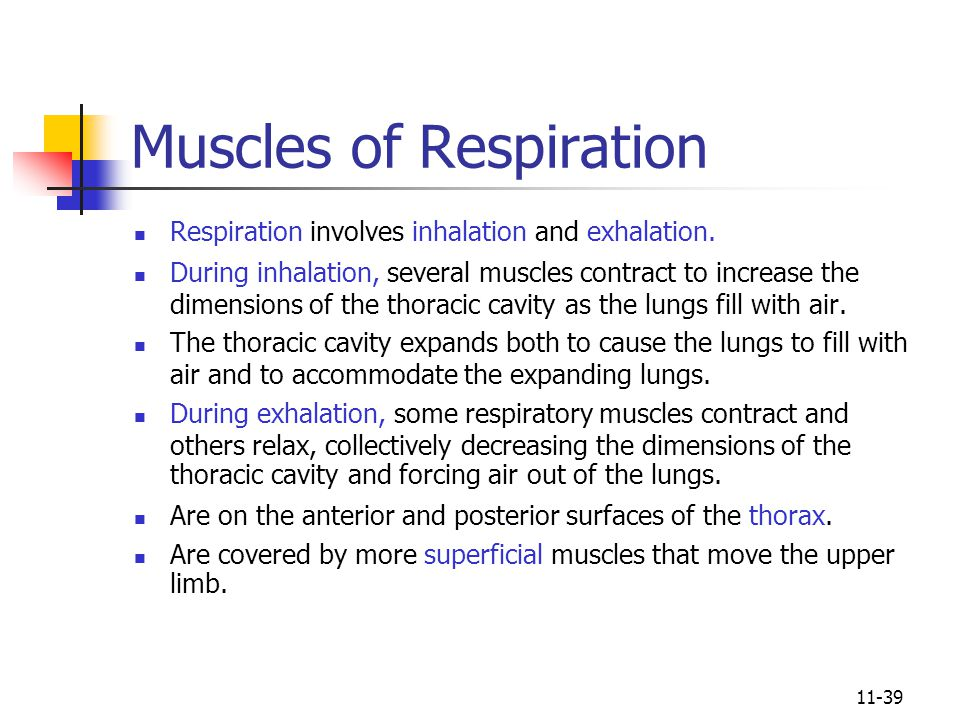 11-39 Muscles of Respiration Respiration involves inhalation and exhalation.