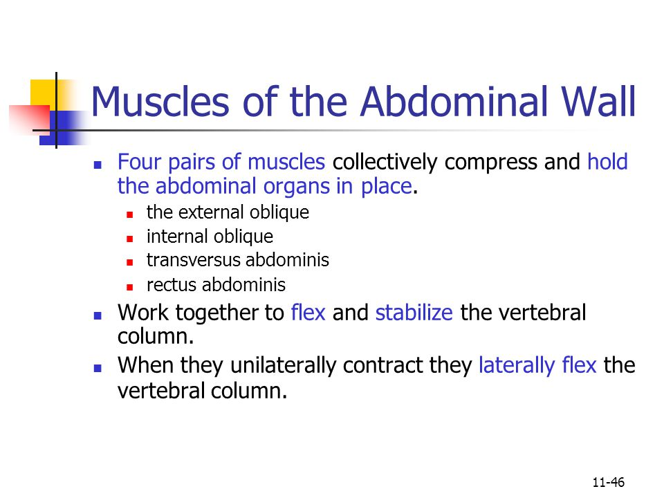 11-46 Muscles of the Abdominal Wall Four pairs of muscles collectively compress and hold the abdominal organs in place.