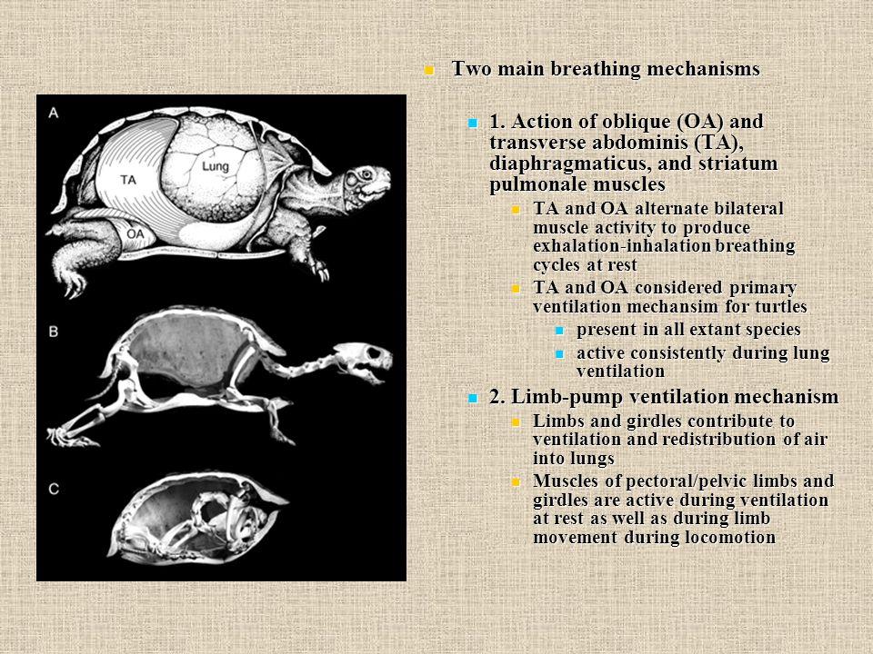 Two main breathing mechanisms Two main breathing mechanisms 1.