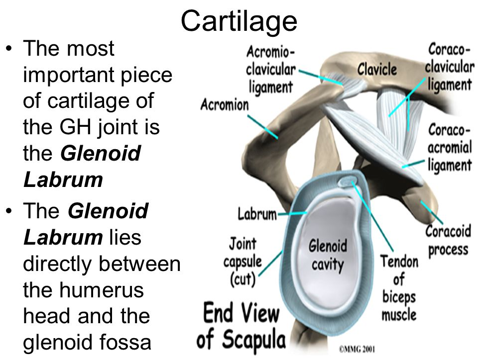 Cartilage The most important piece of cartilage of the GH joint is the Glenoid Labrum The Glenoid Labrum lies directly between the humerus head and the glenoid fossa