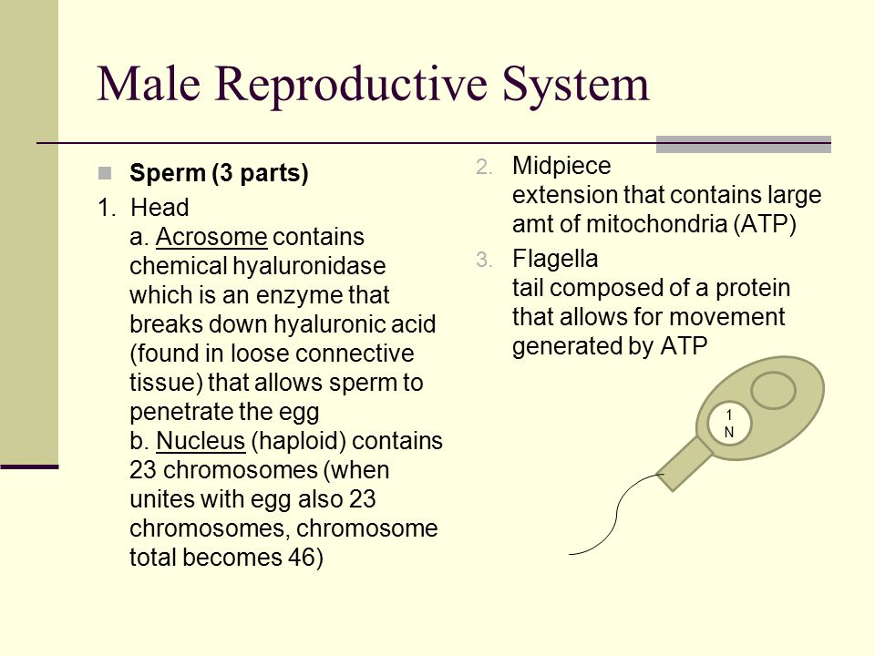 Male Reproductive System Sperm (3 parts) 1. Head a. Acrosome contains chemical hyaluronidase which is an enzyme that breaks down hyaluronic acid (foun