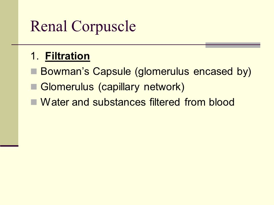 Renal Corpuscle 1. Filtration Bowman's Capsule (glomerulus encased by) Glomerulus (capillary network) Water and substances filtered from blood