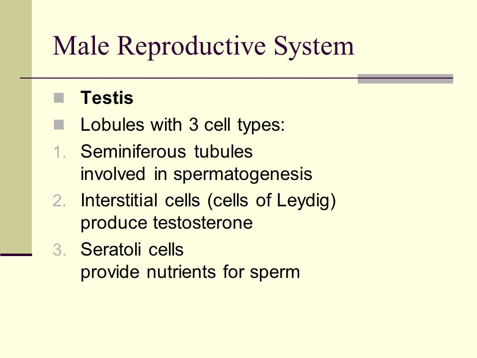 Male Reproductive System Testis Lobules with 3 cell types: 1. Seminiferous tubules involved in spermatogenesis 2. Interstitial cells (cells of Leydig)