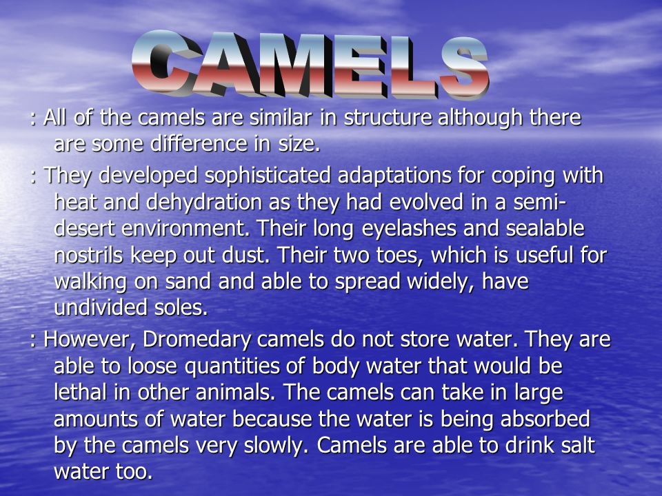 : All of the camels are similar in structure although there are some difference in size.