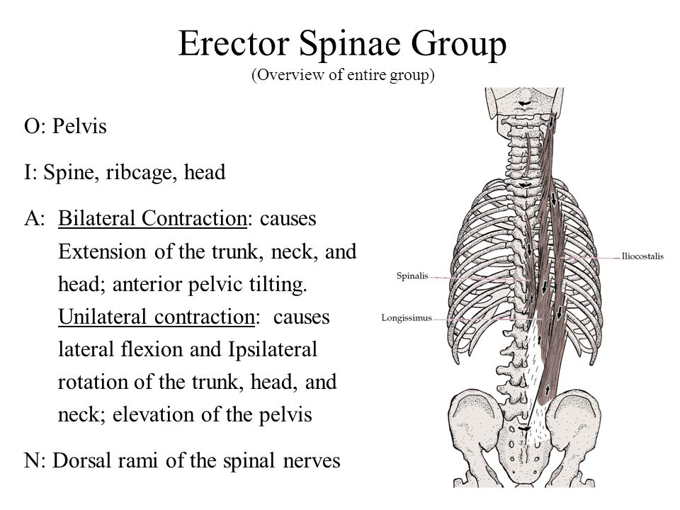 12 O: Pelvis I: Spine, ribcage, head A: Bilateral Contraction: causes Extension of the trunk, neck, and head; anterior pelvic tilting. Unilateral cont