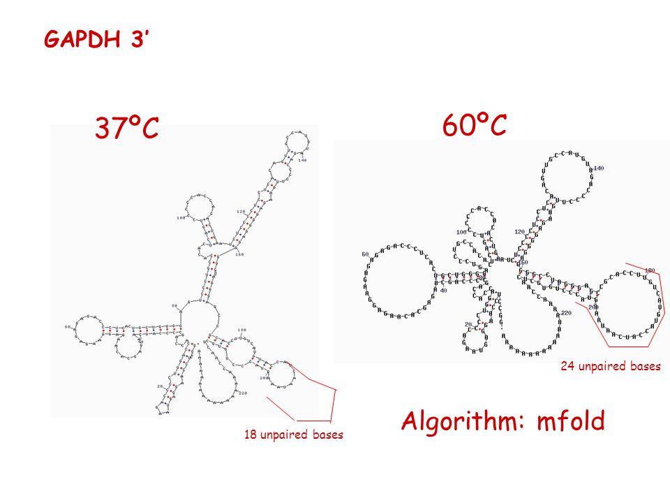 37ºC GAPDH 3' 60ºC 18 unpaired bases 24 unpaired bases Algorithm: mfold