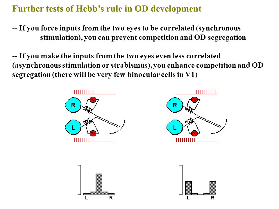Further tests of Hebb's rule in OD development -- If you force inputs from the two eyes to be correlated (synchronous stimulation), you can prevent competition and OD segregation -- If you make the inputs from the two eyes even less correlated (asynchronous stimulation or strabismus), you enhance competition and OD segregation (there will be very few binocular cells in V1)
