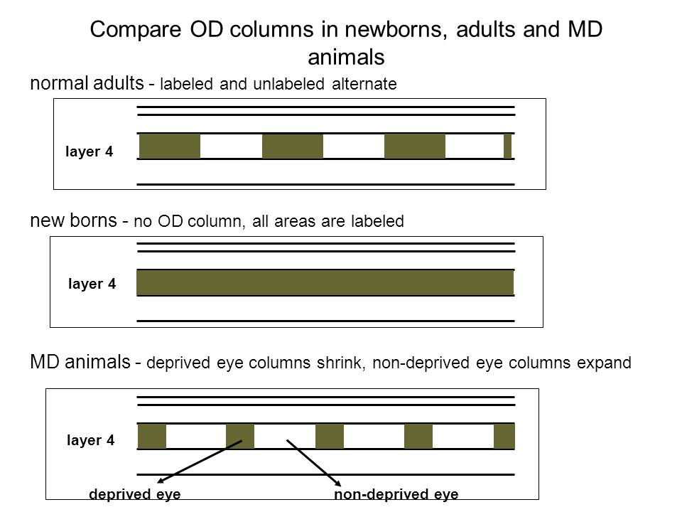 Compare OD columns in newborns, adults and MD animals normal adults - labeled and unlabeled alternate new borns - no OD column, all areas are labeled MD animals - deprived eye columns shrink, non-deprived eye columns expand layer 4 deprived eyenon-deprived eye