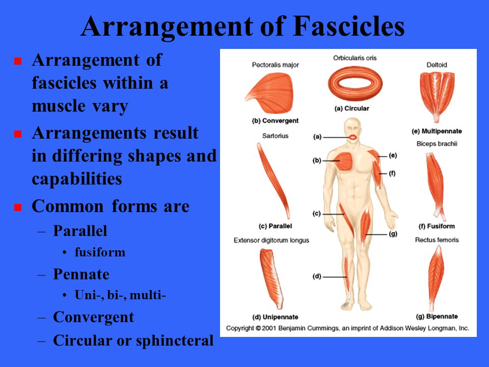 Arrangement of Fascicles Arrangement of fascicles within a muscle vary Arrangements result in differing shapes and capabilities Common forms are –Para