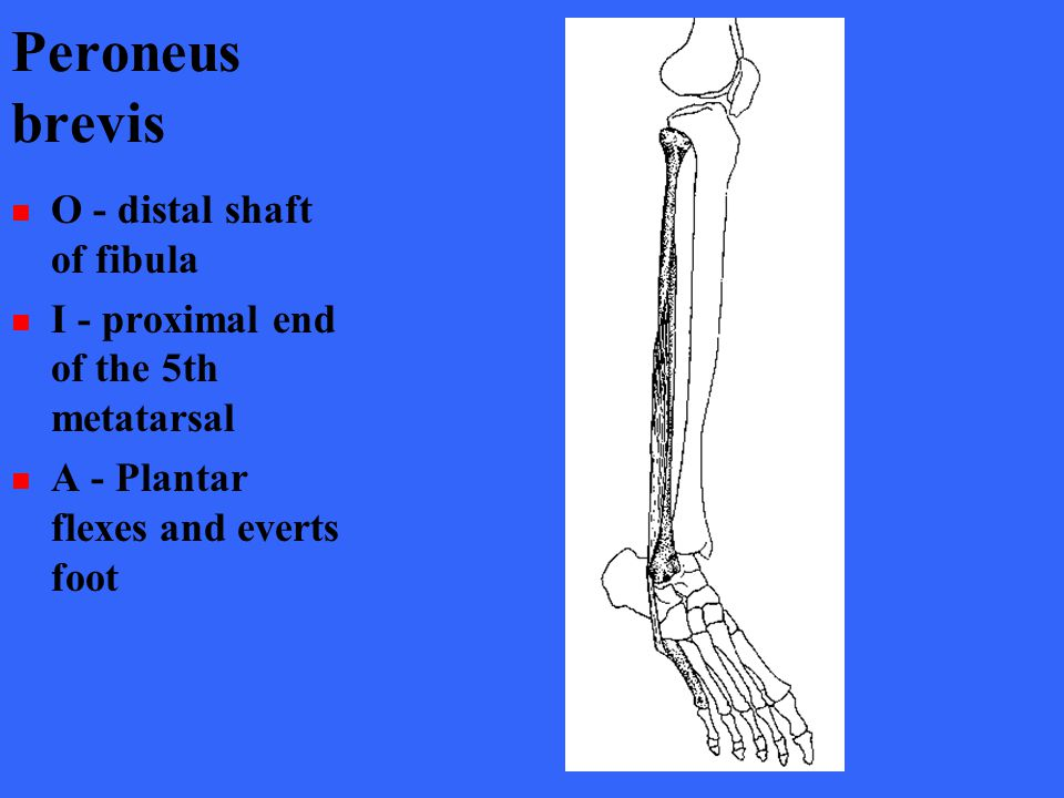 Peroneus brevis O - distal shaft of fibula I - proximal end of the 5th metatarsal A - Plantar flexes and everts foot
