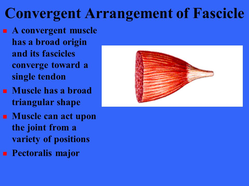 Convergent Arrangement of Fascicle A convergent muscle has a broad origin and its fascicles converge toward a single tendon Muscle has a broad triangu