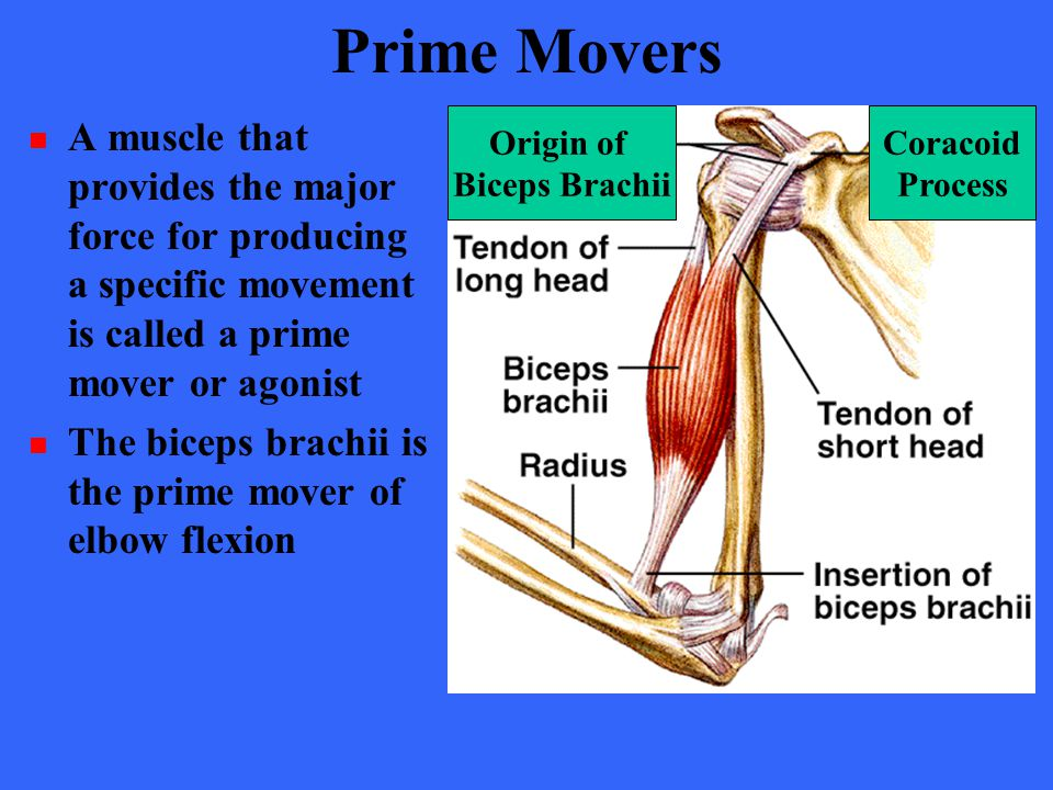 Prime Movers A muscle that provides the major force for producing a specific movement is called a prime mover or agonist The biceps brachii is the pri