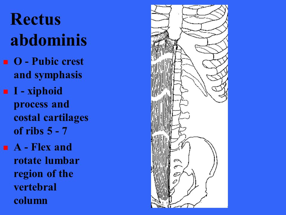 Rectus abdominis O - Pubic crest and symphasis I - xiphoid process and costal cartilages of ribs 5 - 7 A - Flex and rotate lumbar region of the verteb