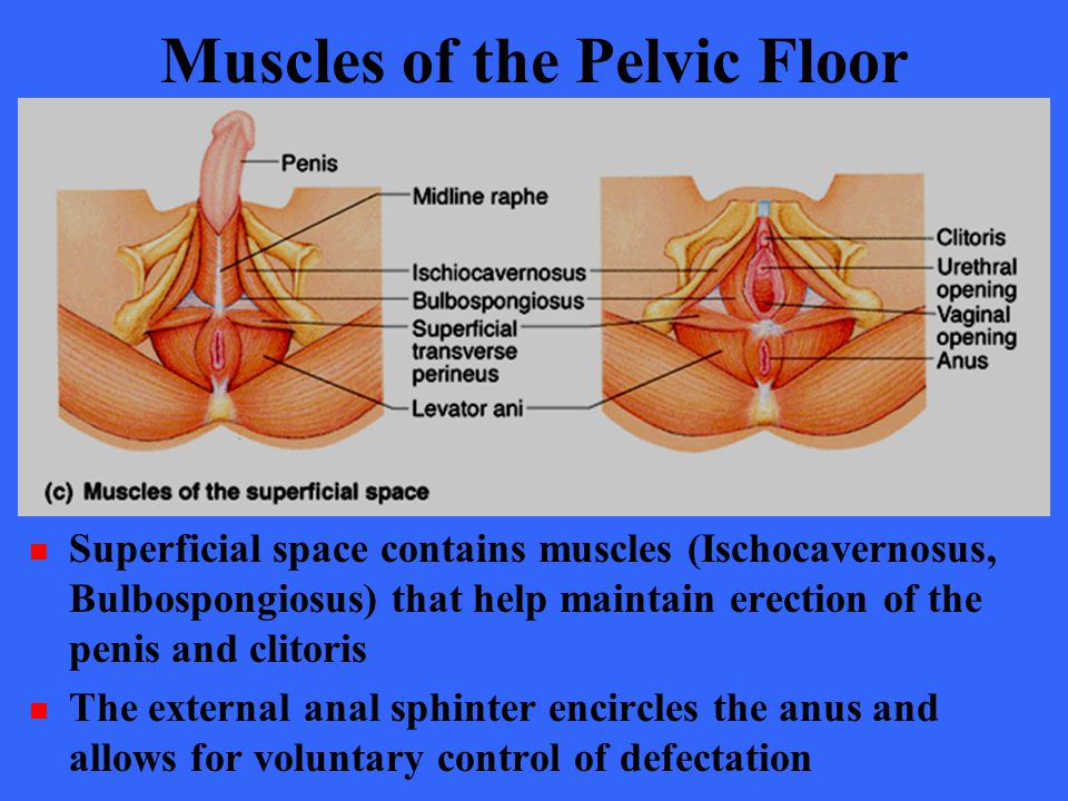 Muscles of the Pelvic Floor Superficial space contains muscles (Ischocavernosus, Bulbospongiosus) that help maintain erection of the penis and clitori