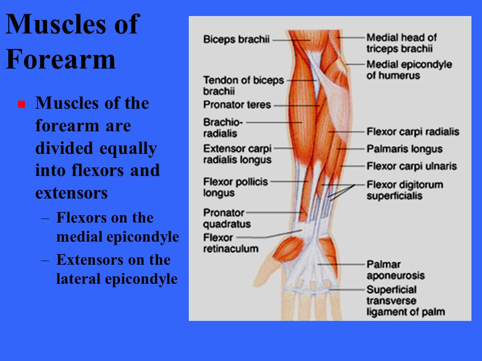 Muscles of Forearm Muscles of the forearm are divided equally into flexors and extensors –Flexors on the medial epicondyle –Extensors on the lateral e