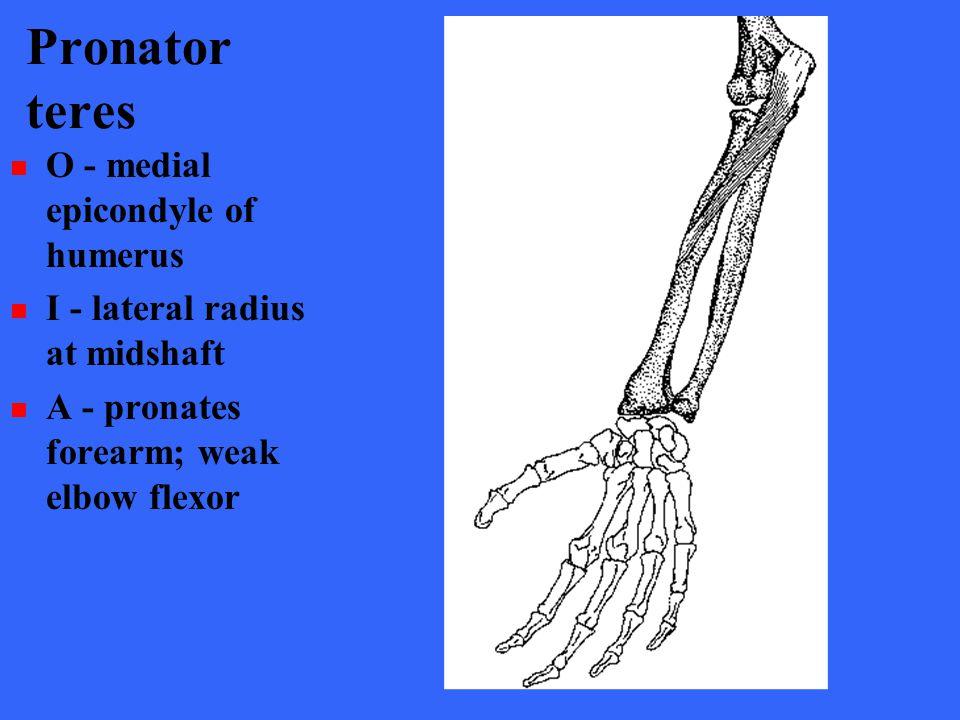 Pronator teres O - medial epicondyle of humerus I - lateral radius at midshaft A - pronates forearm; weak elbow flexor