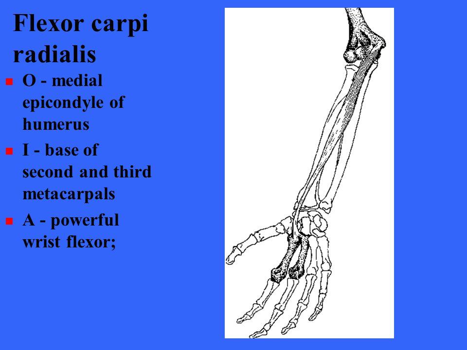 Flexor carpi radialis O - medial epicondyle of humerus I - base of second and third metacarpals A - powerful wrist flexor;
