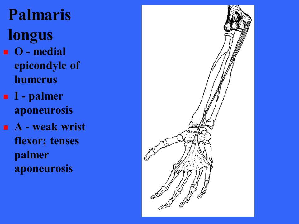 Palmaris longus O - medial epicondyle of humerus I - palmer aponeurosis A - weak wrist flexor; tenses palmer aponeurosis